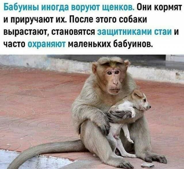 Ответ на пост Интересная история об обезьяне, ставшей мамой для щенка
