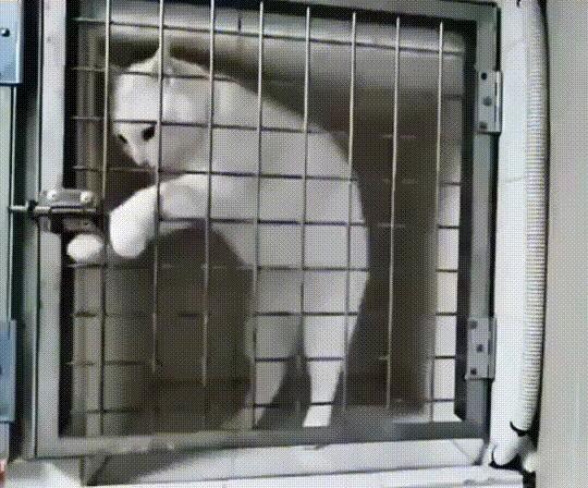 Пойду я прогуляюсь Кот, Передержка, Гифка, Клетка, Побег