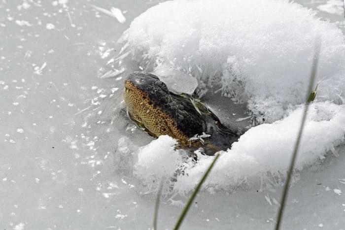 Коротко о погоде в США аллигаторы и снег, штат Оклахома