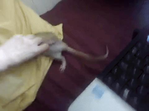 Крысы умеют смеяться Смех, Интересное, Факты, Крыса, Гифка