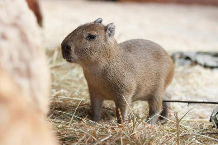 В Ленинградском зоопарке родился детёныш капибары