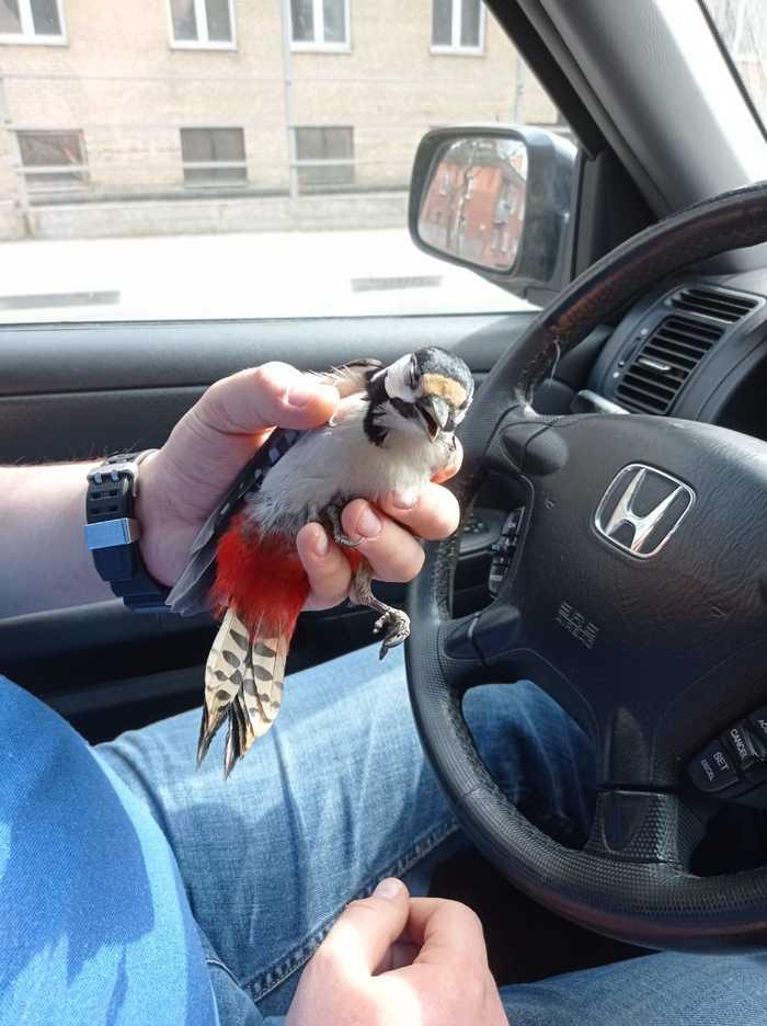 Нужно спасти дятла Птицы, Дятлы, Помощь, Длиннопост