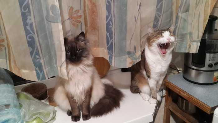 Больше зевающих котов!