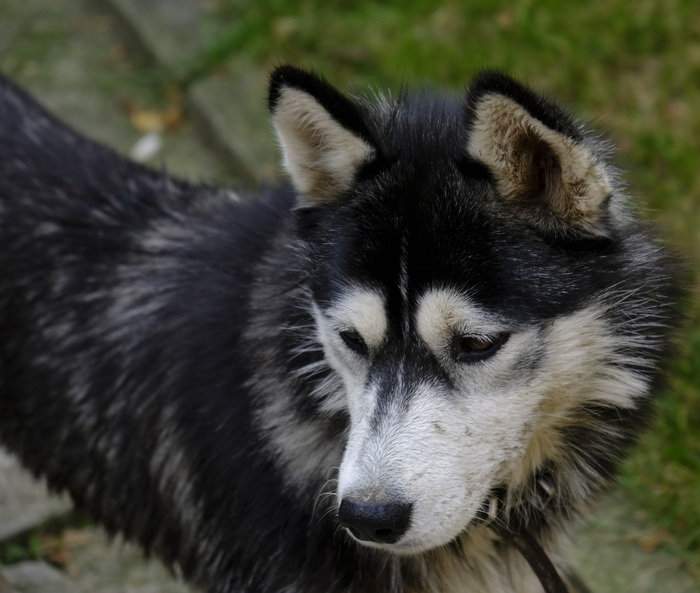 Деревенский пес