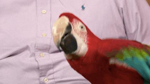 Гифки с попугайчиками Гифка, Попугай, Птицы, Длиннопост