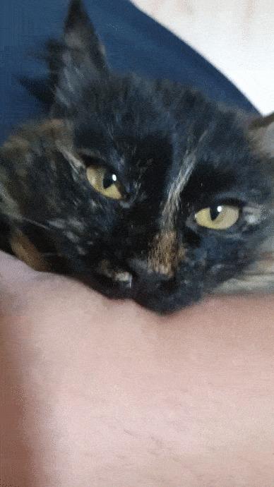 Вот моя Фёкла. В июне ей будет 1 год Кот, Трехцветная кошка, Фотография, Кусь, Гифка, Длиннопост