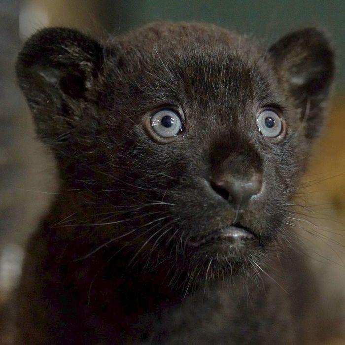 В заповеднике Диких кошек родился красивый и редкий черный ягуар