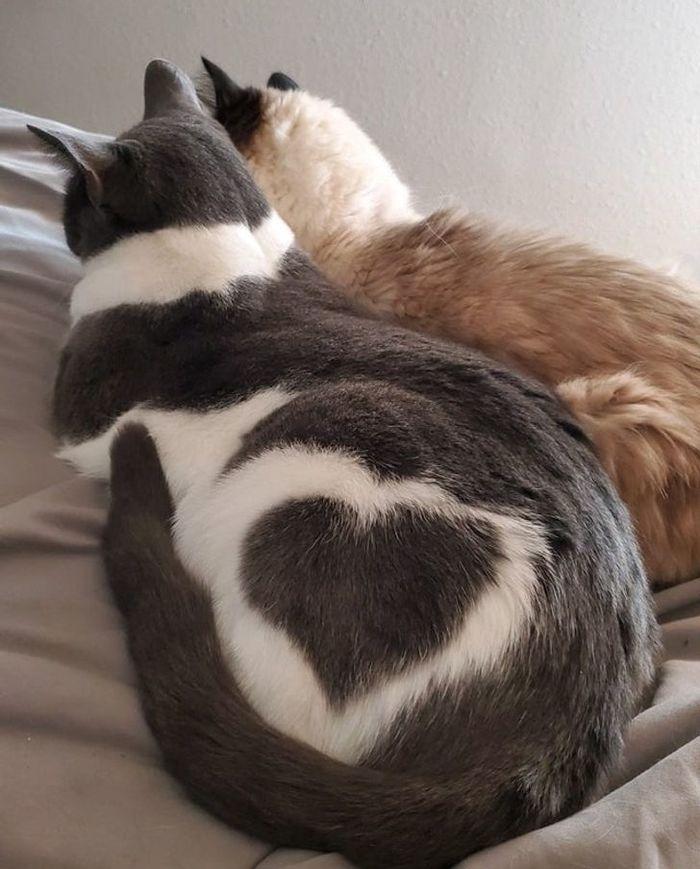 Сердечный кот