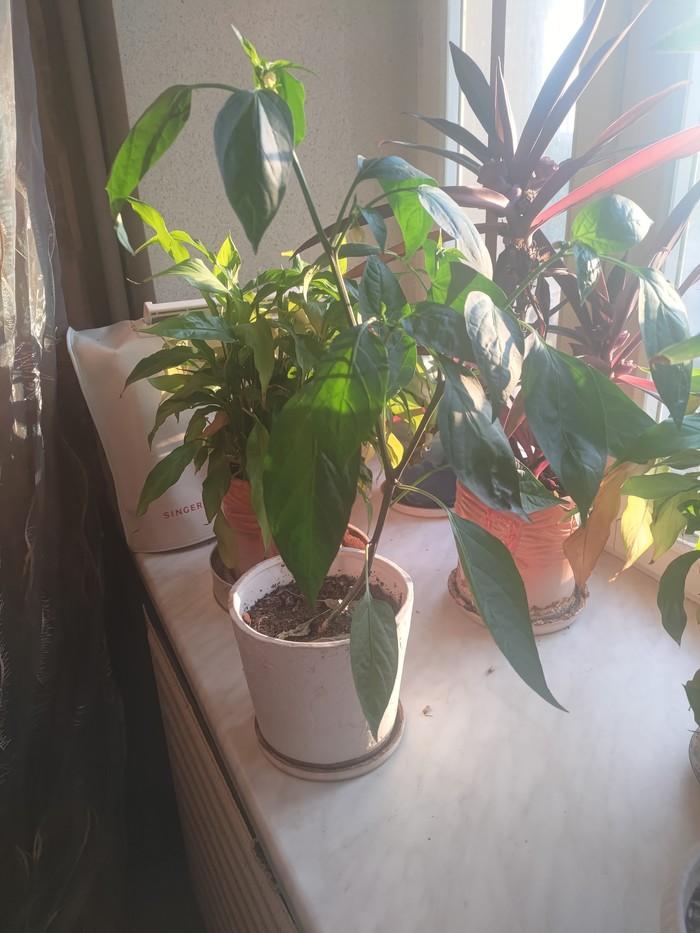 И я свой пэрчик покажу Садоводство, Перцеводство, Кот, История, Рассказ, Ботаника, Селекция, Семья, Длиннопост