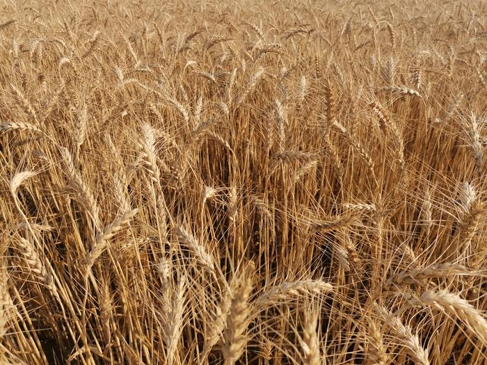 Продолжение поста «Уборка зерновых. Вот и в Белгороде началось» Сельское хозяйство, Пшеница, Урожай, Комбайн, Трактор, Растениеводство, Прогрессивное растениеводство, Подсолнух, Видео, Длиннопост