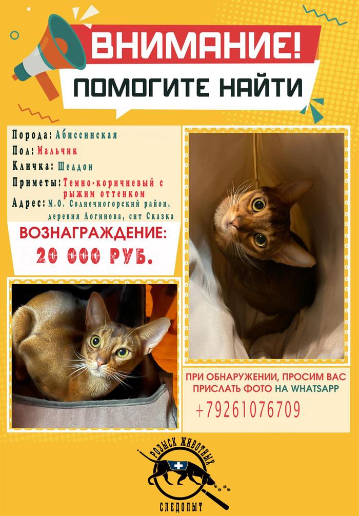 Абиссинский кот пропал в Солнечногорском районе - Награда 20 000 руб Абиссинская кошка, Кот, Потерялся кот, Помощь, Без рейтинга, Помогите найти, Новости, Московская область