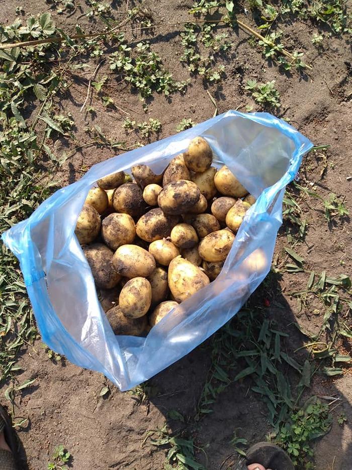 С двух кустов собрали 109 клубней картофеля.. Это - 12,9 кг выращенного урожая.помогли биогумус и полив Сельское хозяйство, Картофель, Урожай, Огород, Дача, Совет, Полезное, Видео, Длиннопост