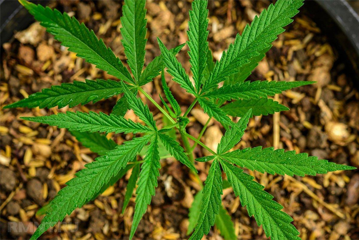 Можно ли выращивать коноплю на садовом участке ак 47 с коноплей
