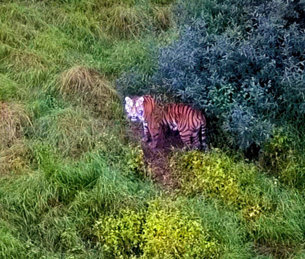 Тигрица Попала На Своего Нового Самца